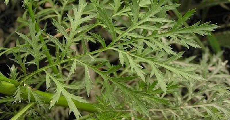Táto úžasná bylinka zabila 98% rakovinových buniek do 16 hodín