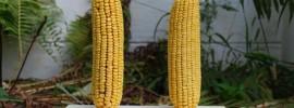Čo sú geneticky modifikované organizmy? Vysvetlené v 1 minúte