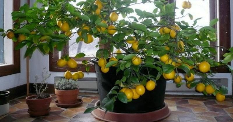 pestovanie citrónov doma