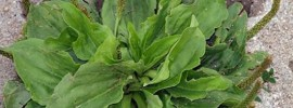 Skorocel je nevídane užitočná bylinka. Dokáže oveľa viac než len hojiť rany