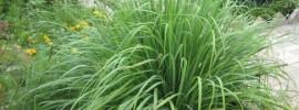 Táto tráva odpudzuje komáre aj keď iné repelenty zlyhávajú