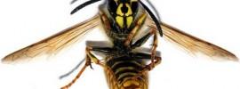 Keď vás uštipne včela alebo osa v hrdle, máte len 2 možnosti ako prežiť