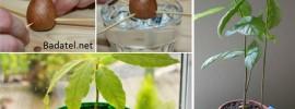 Ako si vypestovať vlastný avokádový stromček v malom kvetináči