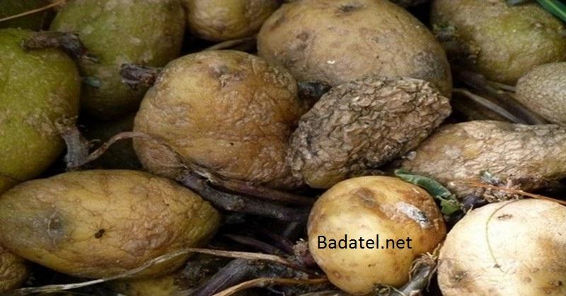 pokazene-zemiaky
