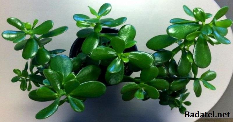 Pestujte doma túto izbovú rastlinu: Prinesie vám šťastie aj peniaze