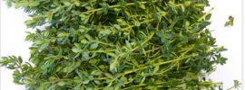 Najlepšia bylinka na bolesti žalúdka, hnačku, artritídu, bolesť hrdla, chrípku…
