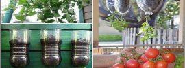 Vypestujte si vlastné paradajky bez postrekov na balkóne v 2 litrovej fľaši