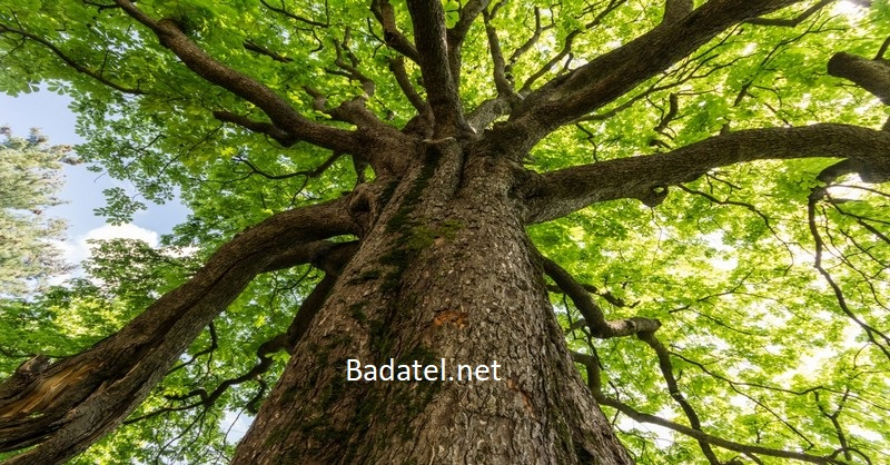 3 liečivé stromy, za ktorými nemusíte chodiť ďaleko
