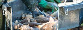 Rybie farmy produkujú choroby