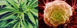 Výskum, ktorý dokazuje, že marihuana bezpečne zabíja rakovinové bunky, je utajovaný od roku 1974