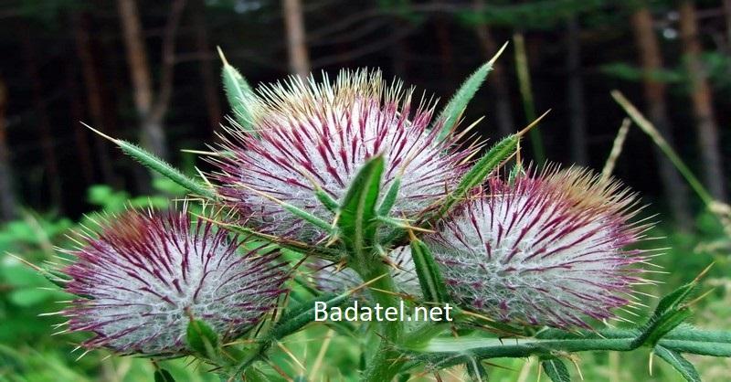 Obyčajná bylinka lieči hepatitídu C, ružienku, zápaly a iné ochorenia