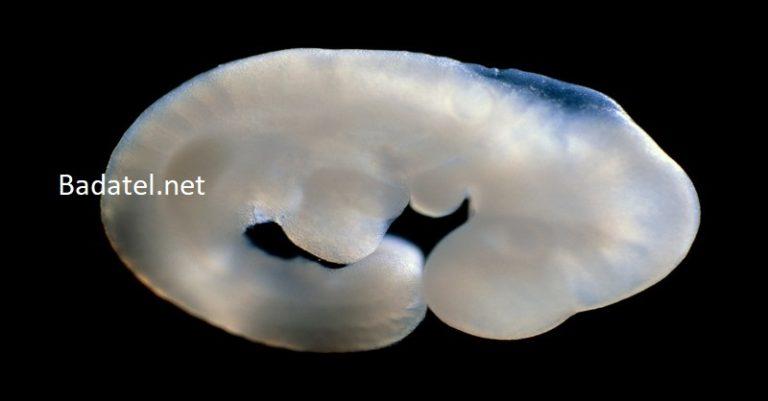 Japonskí vedci pokročili s vytvorením ľudsko-zvieracích hybridov na pestovanie orgánov