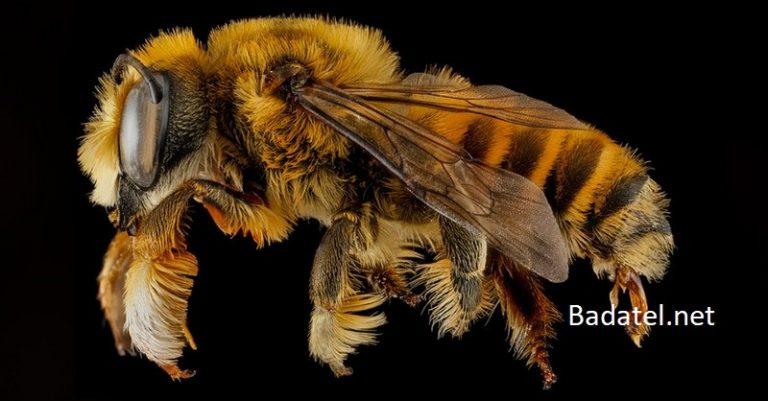 Je to oficiálne: Včela vyhlásená za najdôležitejšiu živú bytosť planéty