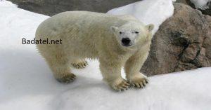 Tí, čo panikária kvôli zmenám klímy, prestávajú mať za maskota ľadového medveďa. Ľadovým medveďom sa darí, ich populácie dosahujú rekordné počty.