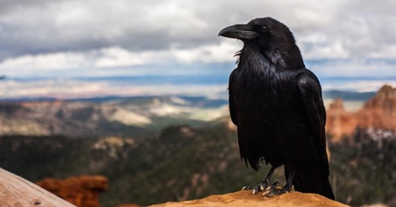 Vídate vrany? Čo symbolizuje vrana (viac než len smrť)