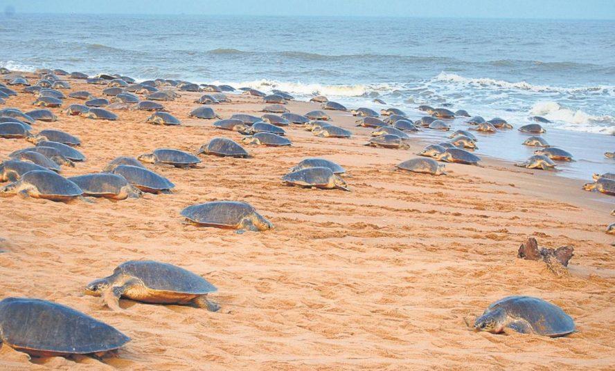 Prvýkrát po rokoch tisíce ohrozených korytnačiek vyšli v Indii na pláž naklásť svoje vajíčka
