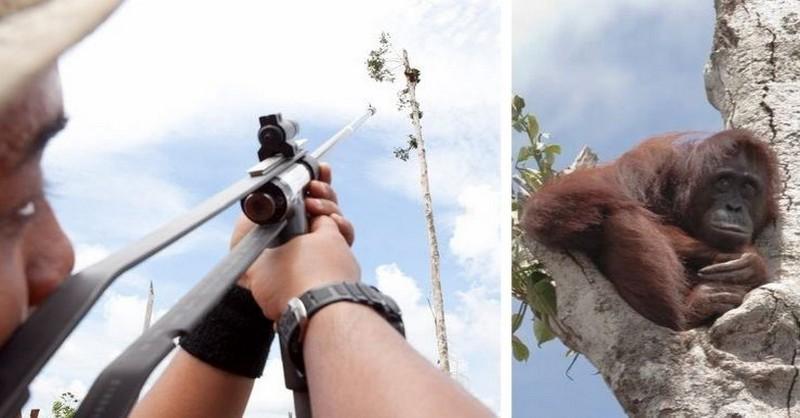 Gravidná samica orangutana sa schúlila na poslednom strome a dívala sa na to, ako buldozéry ničia jej dažďový prales