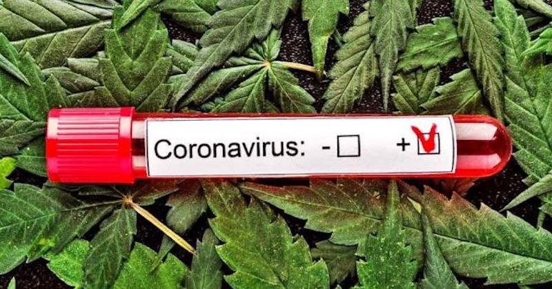 Podľa univerzitnej štúdie zložka konopy potláča SARS-CoV-2 v pľúcnych bunkách